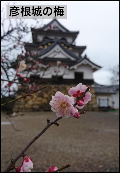 彦根城と梅
