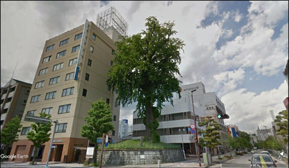 宇都宮城三の丸に立っていたイチョウの木