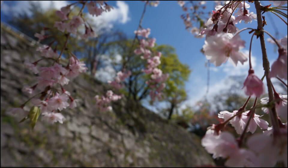 盛岡城と桜
